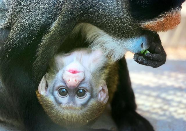 【目がクリクリ】世界一美しいサル「ブラッザグエノン」の赤ちゃん 東武動物公園同園は6月1日から再開。飼育員によると、6月末ごろまでは親子で寄り添う姿が見られるという。