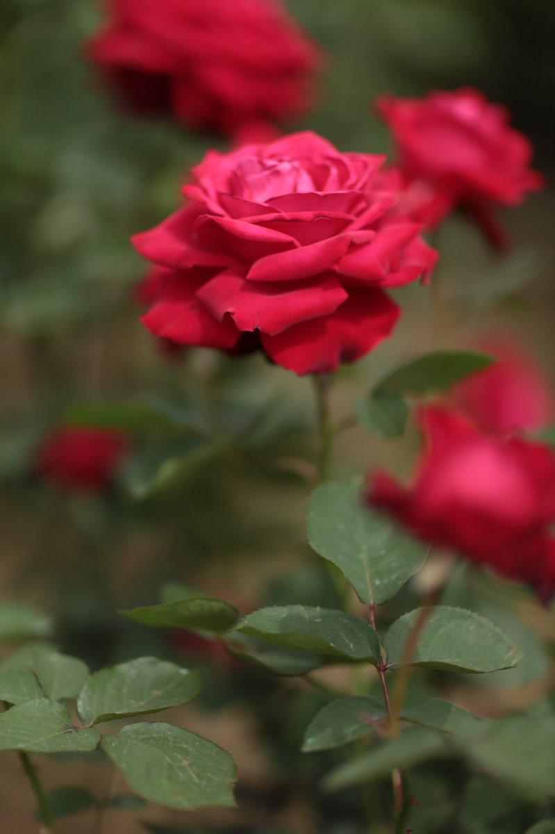 誰かがオレに言った、オレには血と硝煙と薔薇の香りが良く似合うと・・・。#シティーハンター