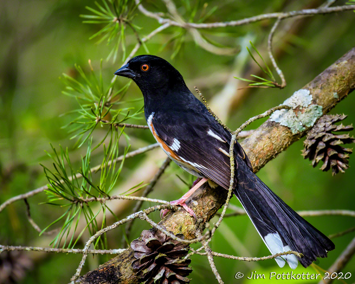 I was proud of myself when I learned one of the calls of the Eastern Towhee, but there is a big difference between hearing one and seeing one. These shy birds of the undergrowth can be hard to find, so I was delighted when this male ventured on to low limbs. #birds #photographypic.twitter.com/HskKJbIVnM