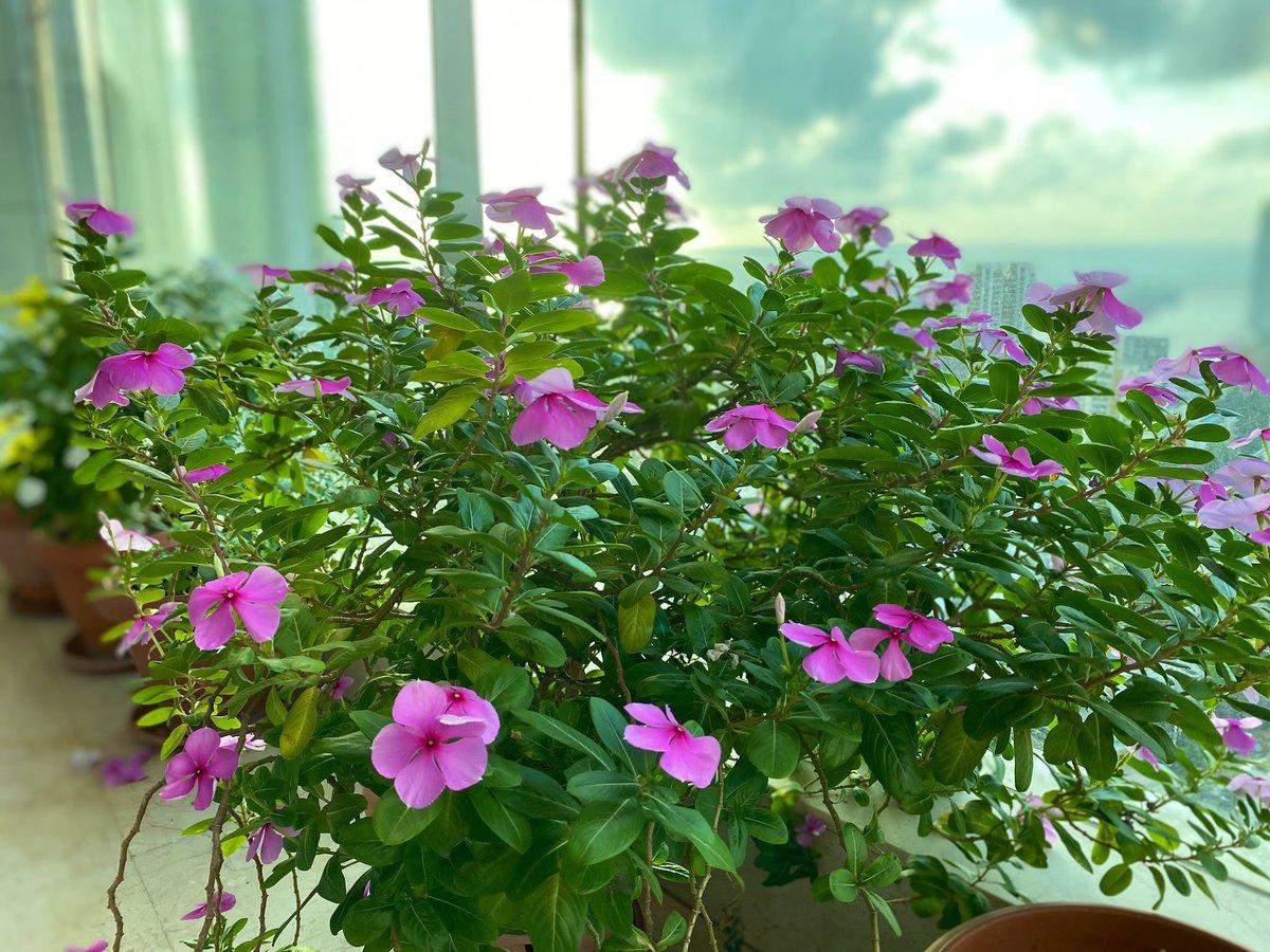 Garden in the sky 🌸💙 #bloom #petunias #flowers #summer #simplepleasures