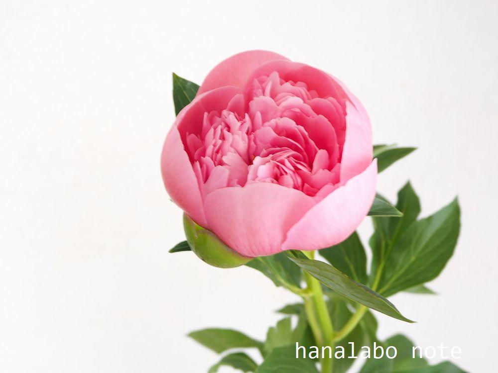 【シャクヤクの花言葉】  『謙遜』『恥じらい』『清浄』『威厳』  シャクヤクには夕方になると花を閉じてしまう性質があり、はにかみ屋の妖精がこの花に隠れたら花ごと赤くなった、というイギリスの民話がある。  「恥じらい」はそんなお話からついた花言葉。 https://t.co/APLcpCAC5Q