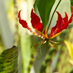Gloriosa superba, commonly known as a glory lily, is a climbing perennial with showy flowers worthy of the plant's scientific name. This plant is an ideal choice for growing in a warm conservatory or glasshouse and is currently thriving in our Water Lily House.