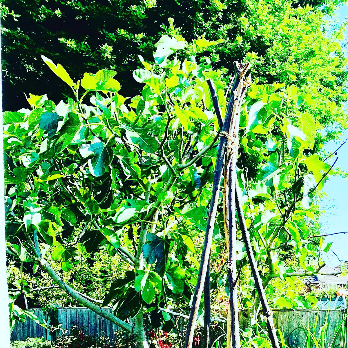 Garden canes in situ for wild sweetpeas loving the sculptural and natural vibe in the garden! pic.twitter.com/t40GNJ2cRv