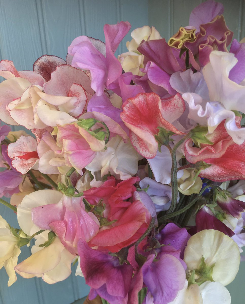 Sweetpea season is definitely here! Sown and grown here in North Devon #sweetpeas #localseasonalandscent #nochemicals #inspiredbynaturepic.twitter.com/RAtEpn7Jva