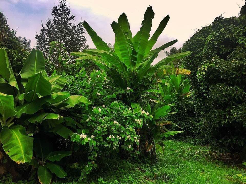 Adentrándome en una plantación de frutas tropicales, de una amiga tailandesa.  En Tailandia una de las primeras cosas que te gusta es la facilidad de poder comer fruta, ya sea en los famosos shakes o batidos o ya sea cortadas en rodajas. La fruta en Tailandia es muy importante. pic.twitter.com/B6d3uUnl85