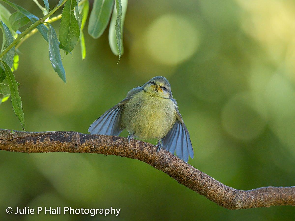 'I've got wings!' Beautiful little #fledgling #Bluetit in the garden yesterday. Feeding a little from the fat pellets plus parent feeding too. #May2020 #gardenbirds #birds #birdphotography #NaturePhotography #nature @iNatureUK @Natures_Voice @WorcsWT @_bto #BBCWildlifePOTD #canonpic.twitter.com/TjzIjpSXjl