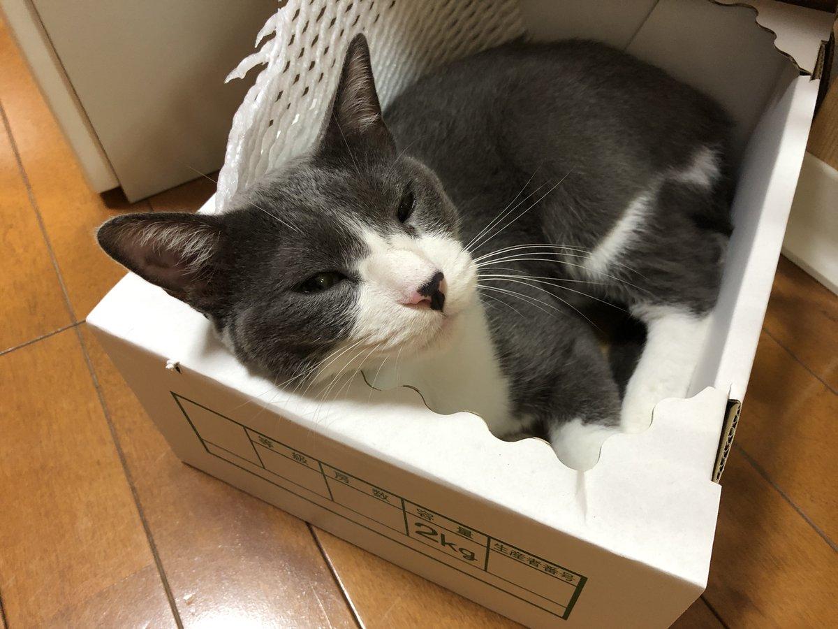 ニャヘヘ、葡萄の箱が空いたからいただきニャ。#猫好きさんと繋がりたい#もふもふチャレンジ