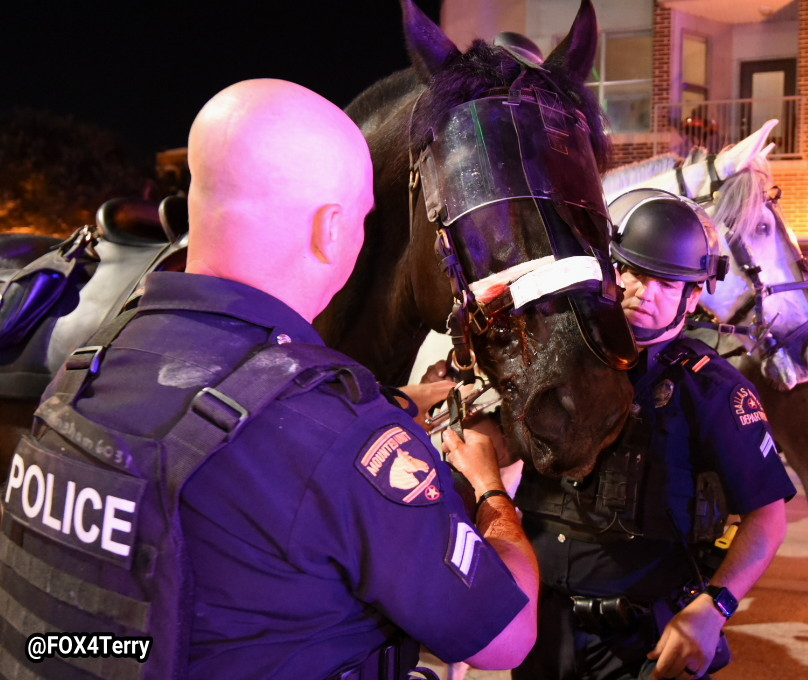@DallasPD horse Cash was injured by a large rock. @DallasFireRes_q and police officers work to stop the bleeding. The suspected rock thrower in jail charged with assault on a police animal. #Dallas #GeorgeFloyd @FOX4 @GoodDayFox4 https://t.co/n07Q1mRvoA