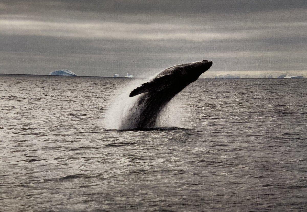volem la prohibició permanent i global de la caça de balenes. pic Sebastian Copeland #heurat #poètiquesHT #Antártida #Antàrtida #Antarctica  #SebastianCopeland  ...🐳 https://t.co/FGuSckqgaN