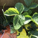 Mr R has taken up gardening - strawberries are looking good; tomatoes - urm, not so good!