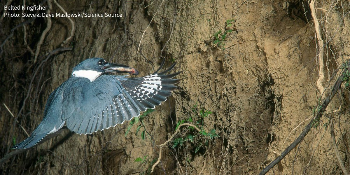 Did you know that Belted Kingfishers nest in burrows up to 15 feet long? ow.ly/l3MY30omQ2T