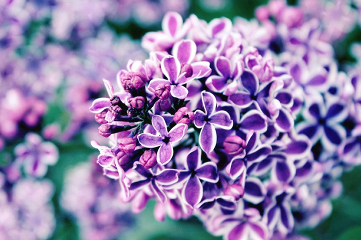 Lilacs are our favorite flower. What is yours? #SpringTime pic.twitter.com/Jok8IvU1Vx