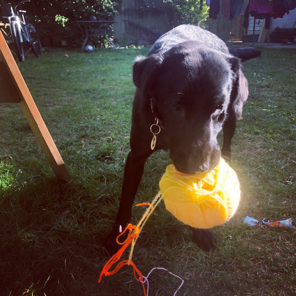 Moments before I was rudely chased around the garden.  Unfair, I felt, because I'm a big help  in the crochet department 🧶 #wool #chase #crochet https://t.co/WtfnyUQChE