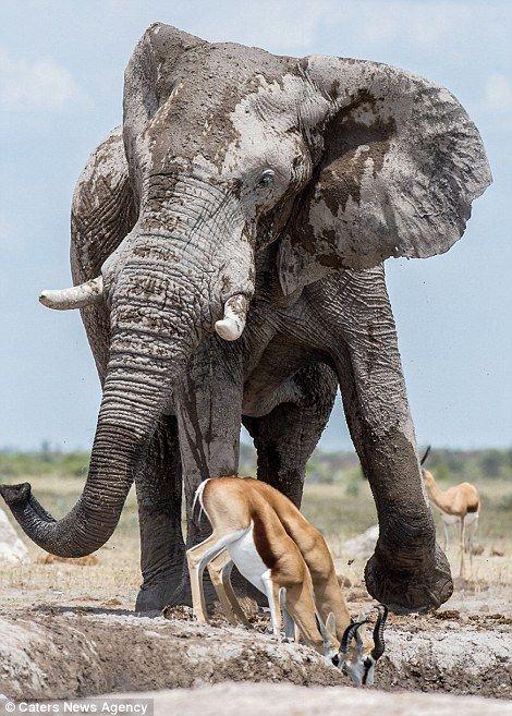 This is amazing, Africa Elephants are social ,this is what we call Multiple Species Association. @ToElephants @CatersNewAgencies @kwskenya @Carol_wanjie #IvoryBelongsToElephantspic.twitter.com/XMOu1AIrWi