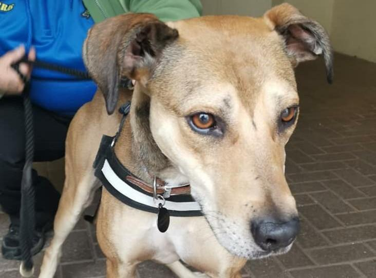 Please share to help Cinnamon find a new home, currently with RSPCA CUMBRIA  Affectionate Lurcher aged 5 looking for forever home, could live with older children and possibly another dog not cats experience of strong sight hounds needed  https://t.co/XgB8eayG3g  #dogs #uk #rspca https://t.co/wP748QLSh9