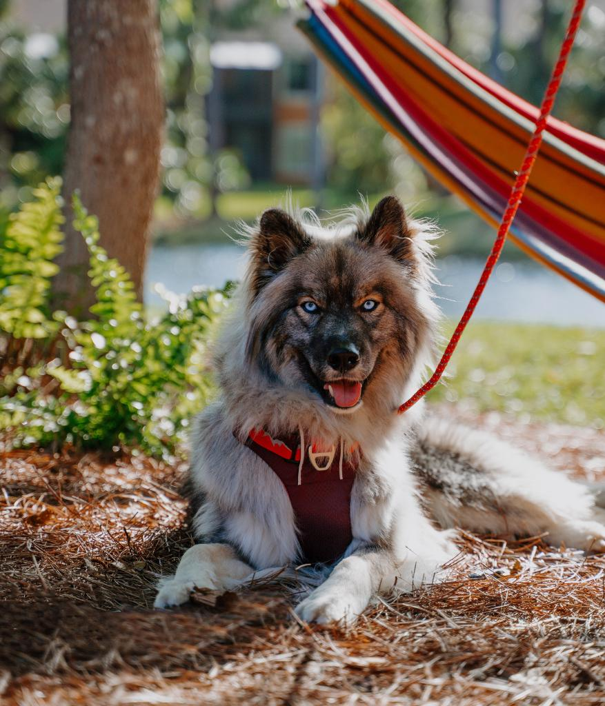 Check out this off-duty model. 😍 Summit loves a good adventure and soaking up the sun! With the Arcadia Trail harness and tie-out, he can spend time outdoors safely and show off those beautiful eyes. ✨ #fortheloveofpets #ArcadiaTrail (📷: IG findyoursummit)