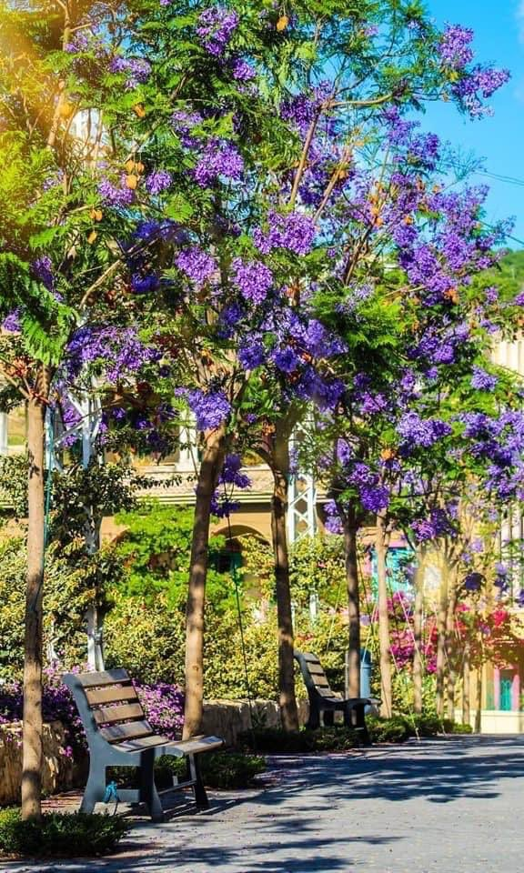 Jacaranda trees planted 2 years ago in collaboration with @rasmaska on Go Green day! #jacaranda #trees #lebanon Livelovetripoli #livelovelebanon #haykelhospital #gogreenpic.twitter.com/oTFhuqlGK8