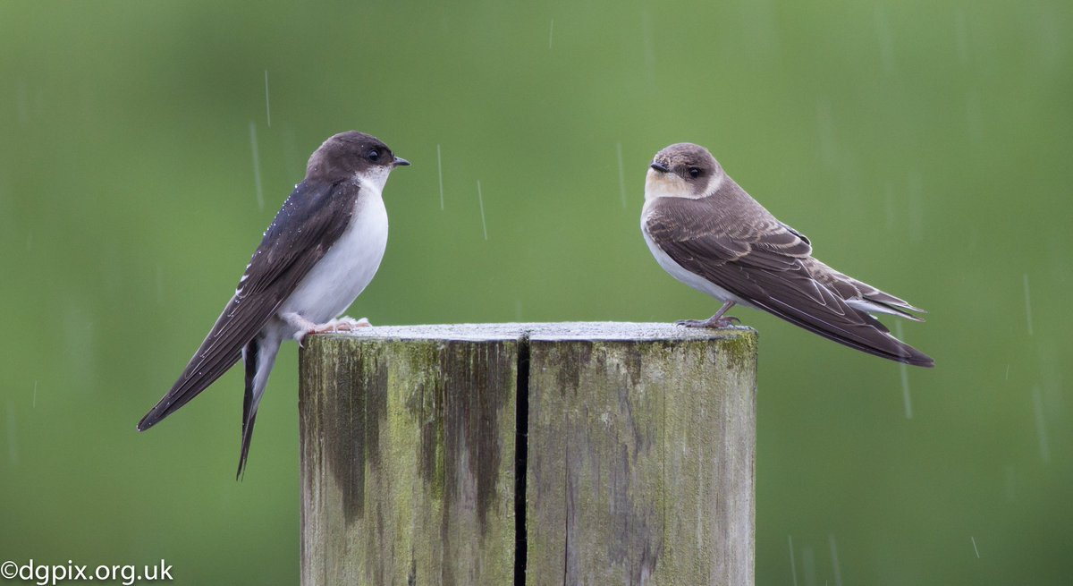 Sand Martins in the rain, I'm hoping they've come back to this spot this year and I'll see them soon @wildlife_uk @BBCSpringwatch @WildlifeMag #birds #wildlife #nature #photography #NaturePhotography #naturelovers pic.twitter.com/jkxp3xFc1V