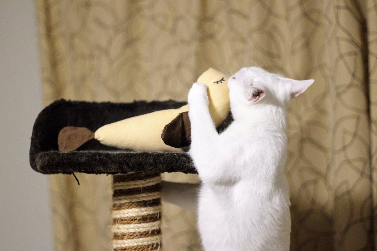 大好きな鳥のけりぐるみに kissする猫(くらら)  #けりぐるみ選手権 #petio @petio_official #necoco #cat