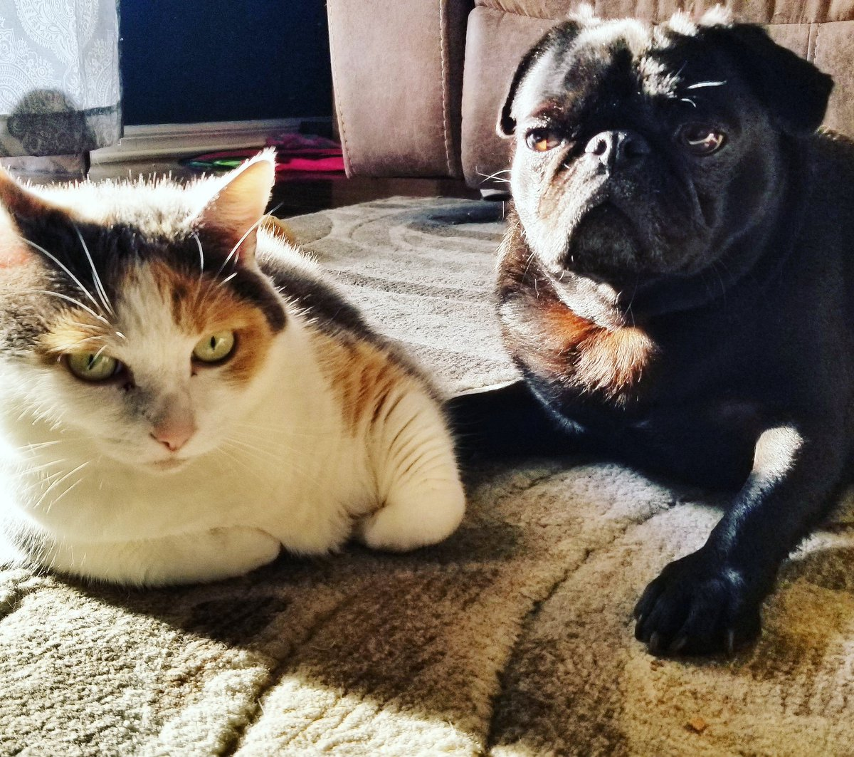It's plainly obvious that Katniss is despising my presence in her space and that me just don't give a toot. Happy Caturday! 😻🐶😻🐶😻  #pug #pugs #cat #cats #dog #dogs