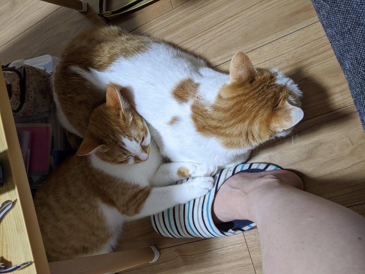 久々に茶白ブラザーズがくっついてる☺  #やすみんの世界猫まみれ #ねこ #猫 #cat #cats #猫好きさんと繋がりたい
