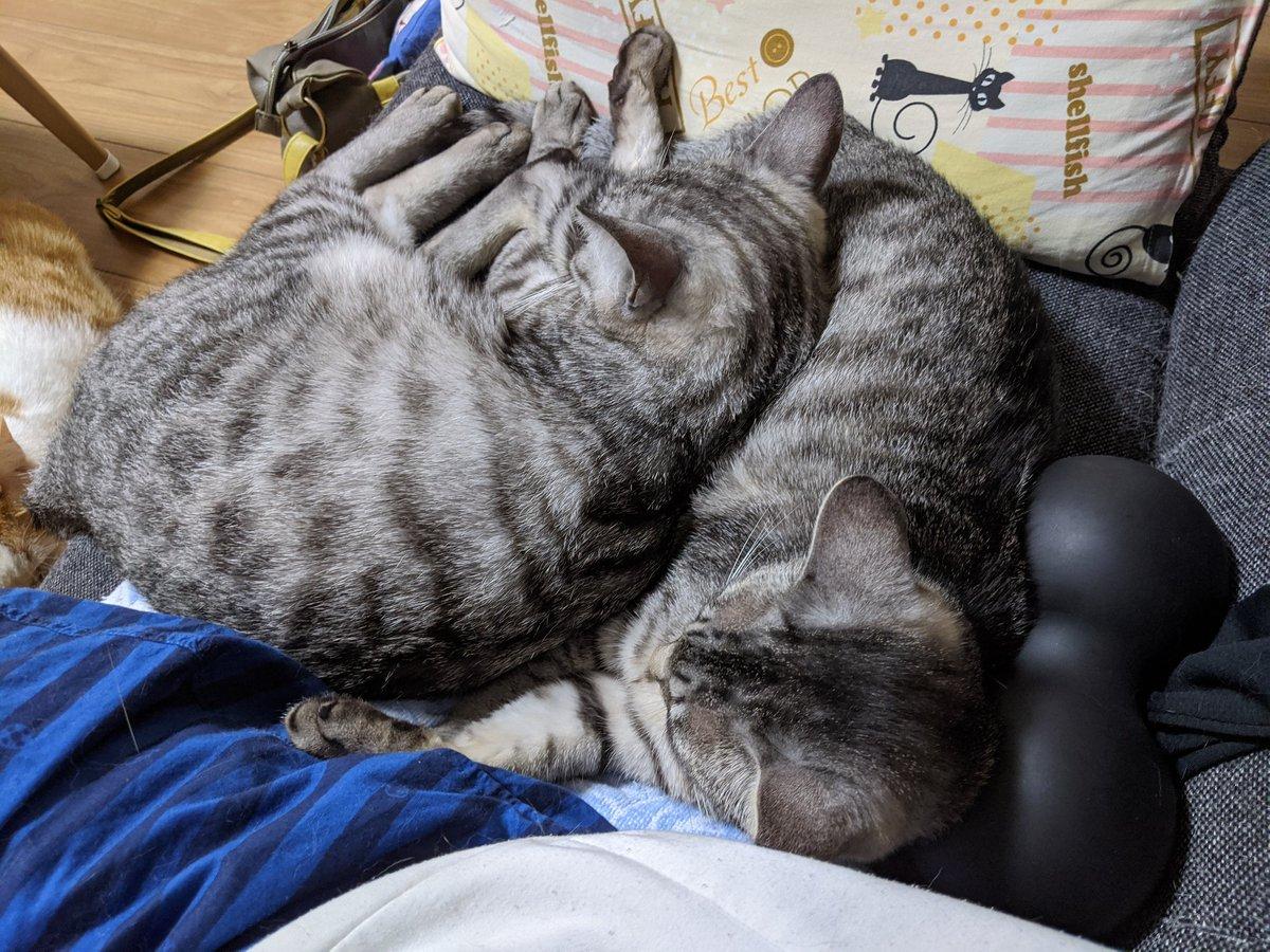 サバトラ兄弟もくっついてる☺  #やすみんの世界猫まみれ #ねこ #猫 #cat #cats #猫好きさんと繋がりたい