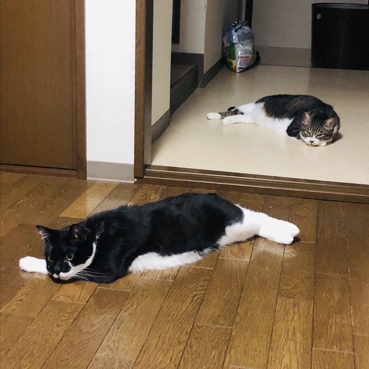 ねこが床に転がる季節の到来である  #ねこ #猫 #cat