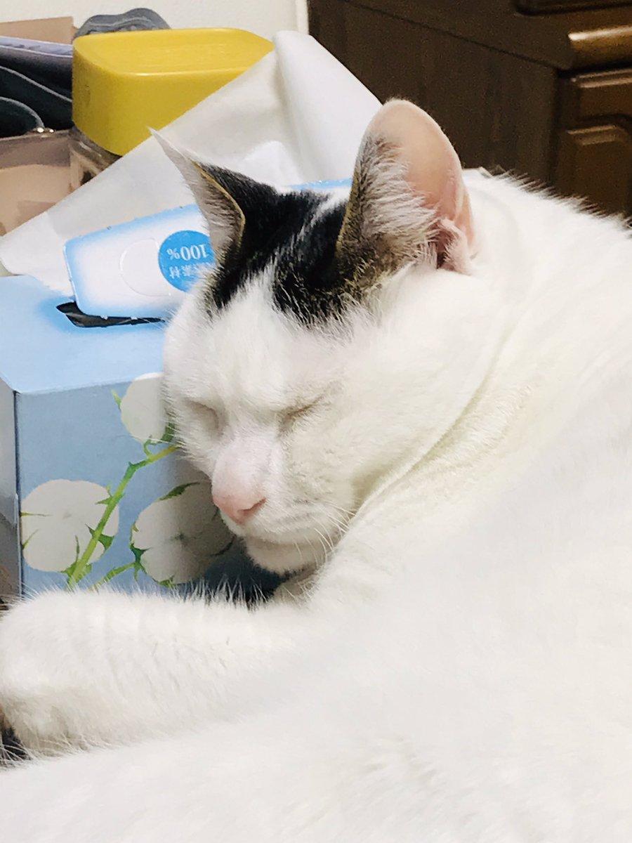 箱ティッシュ枕に #寝てる  (笑)             (灬º 艸º灬)  #猫  #ネコ  #cat #うちの猫    #シロ    #寝てる猫