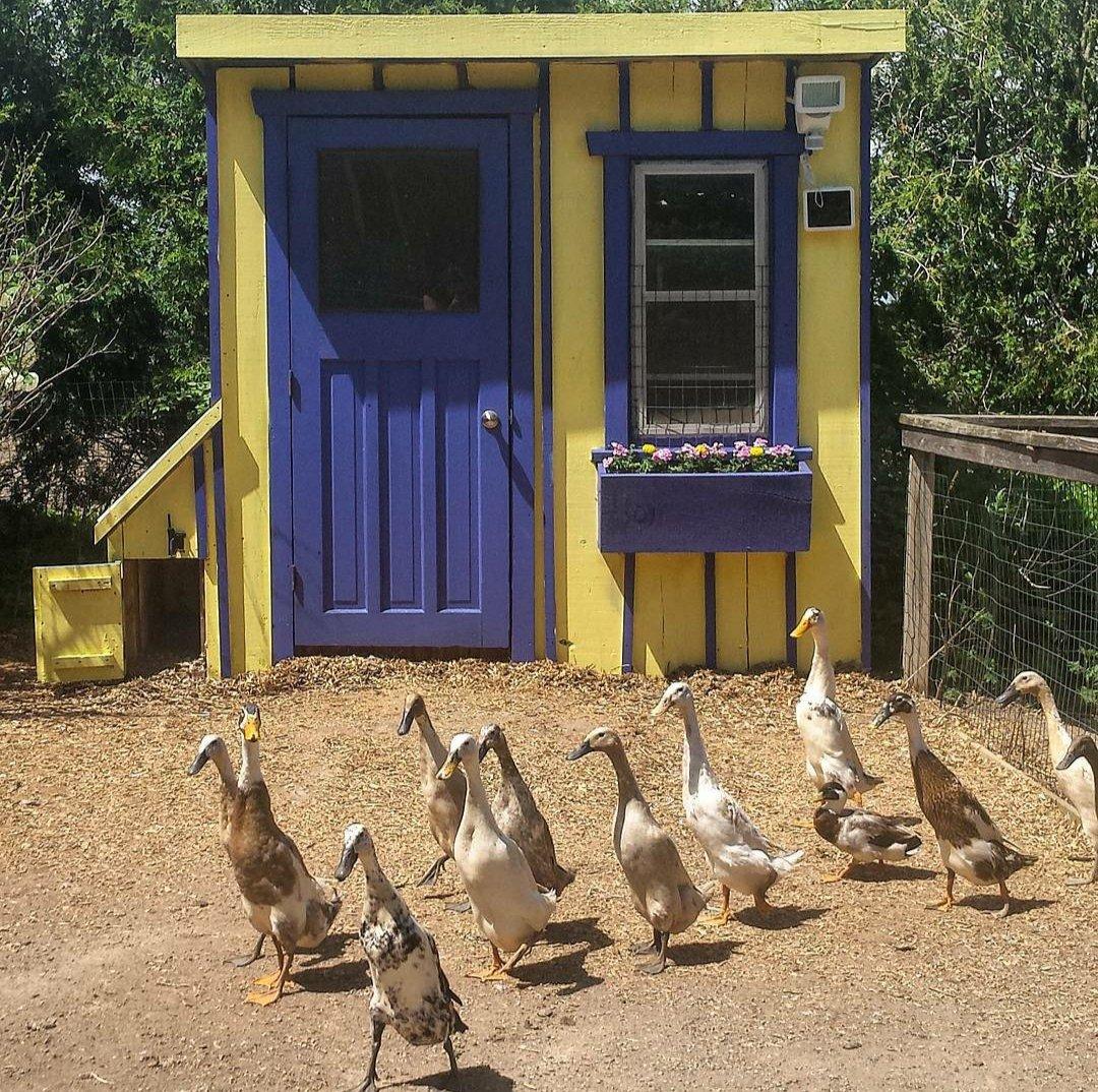 My ducks have a pretty flashy house. 😊  #ducks #SaturdayMorning https://t.co/q4qQYmwSI5