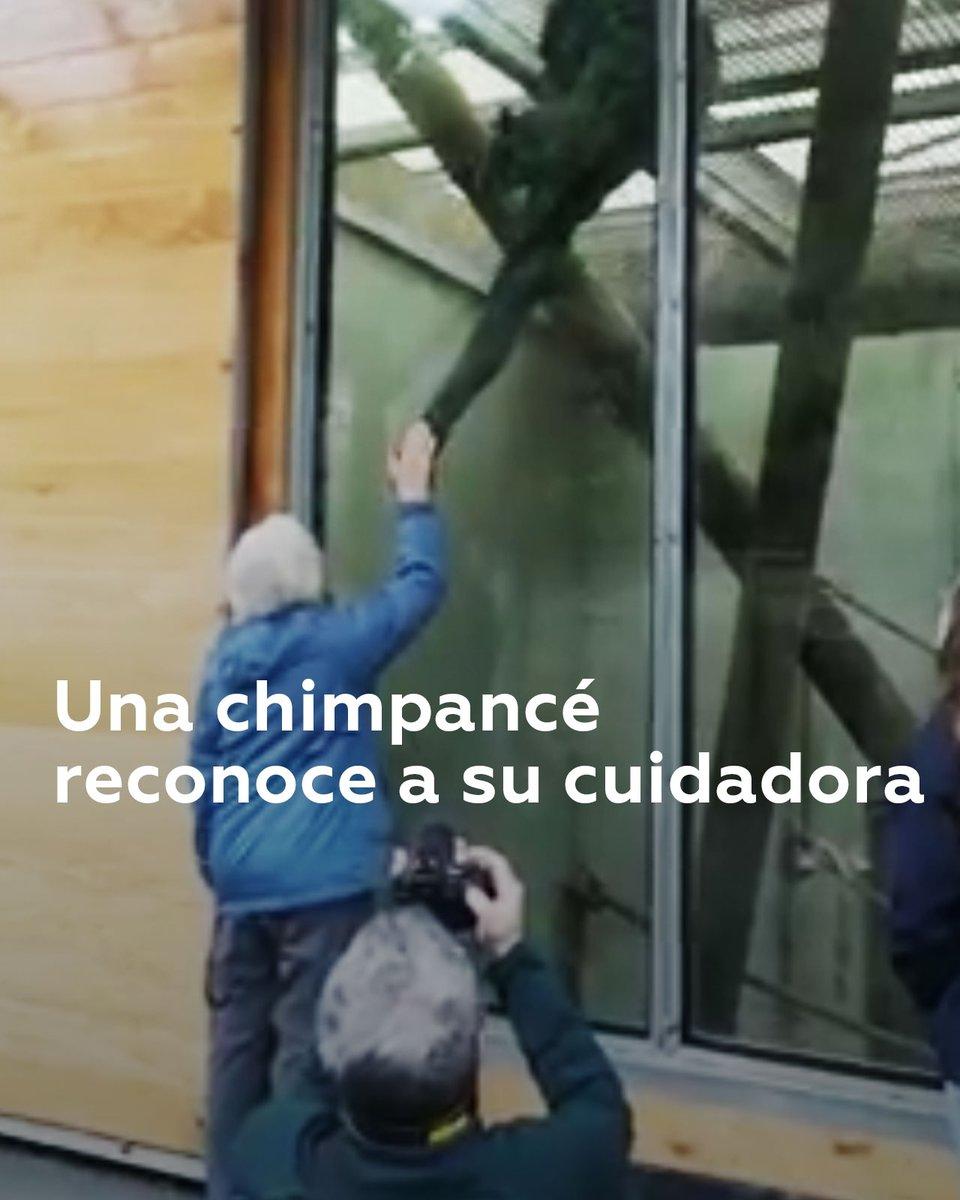 Una chimpancé hembra de 41 años da muestras de reconocer a una voluntaria que cuidó de ella cuando era tan solo una cría, después de décadas sin verse en Nueva Zelanda