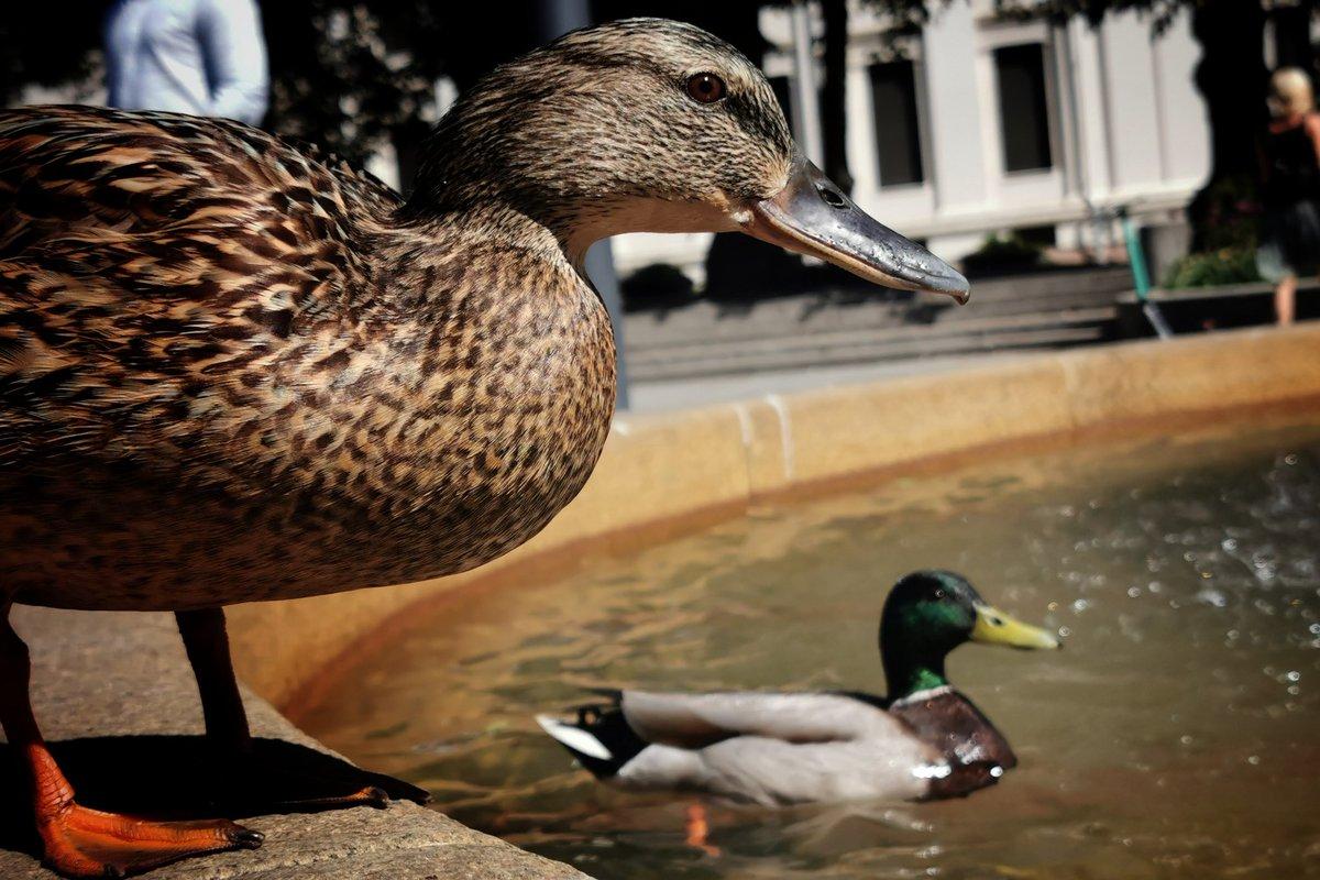 Duck duck go! ;) #Oslo #Norwaypic.twitter.com/R5ZUiJq7iq