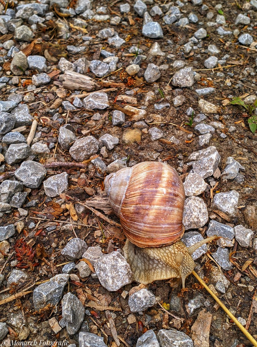 A snail on the way. #snail #SnailsHouse  #nature #NaturePhotography #naturelovers #shotonnokia #nokia8 #mobilephotography @NokiamobBlog @NokiaMobile @NokiaFanPak @NokiaFanss @Nokiapoweruser @nokiafanclub__ @NokiaZeiss @nokiarchive @nokia_anew @nokiacamp @NokiaFanPak @NokiaCamera