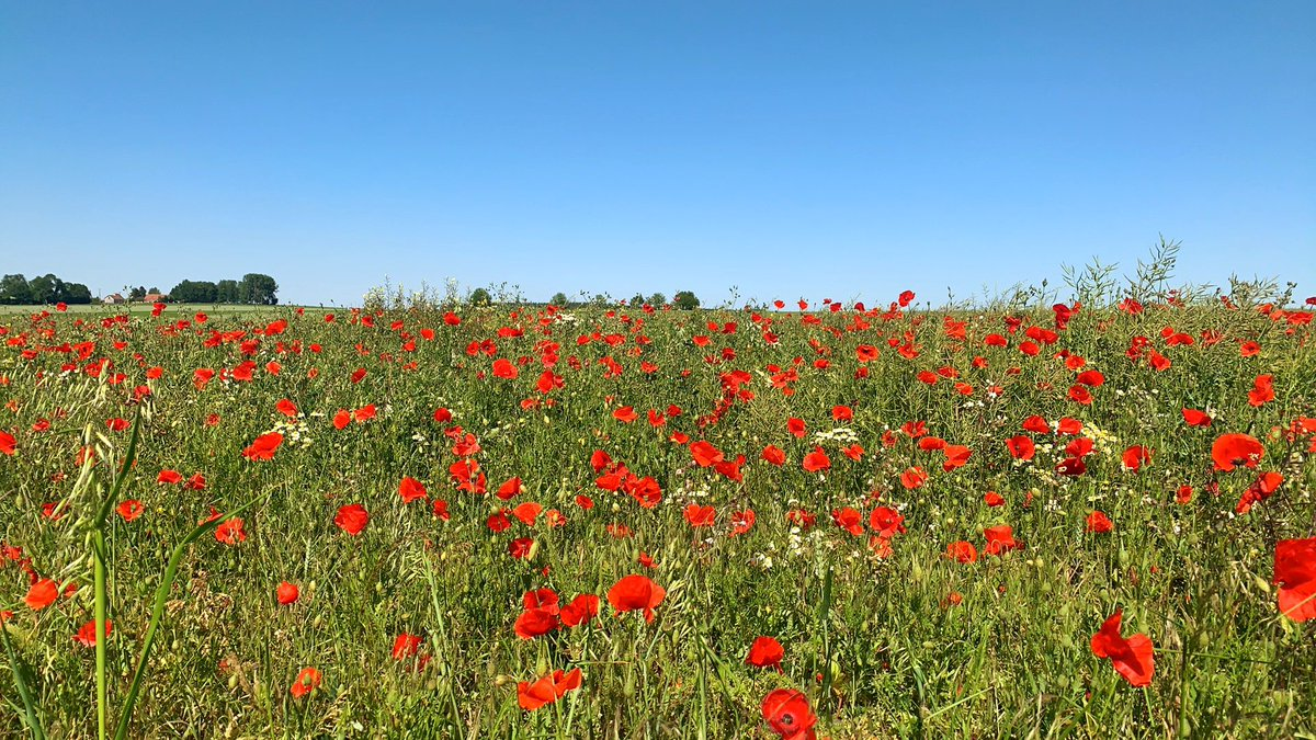 The Somme in the summer is just so beautiful. These poppy fields just the other side of Lochnagar Crater are just so stunning #somme #ww1 #wwi #fww #history #poppiespic.twitter.com/16M7JODDDC