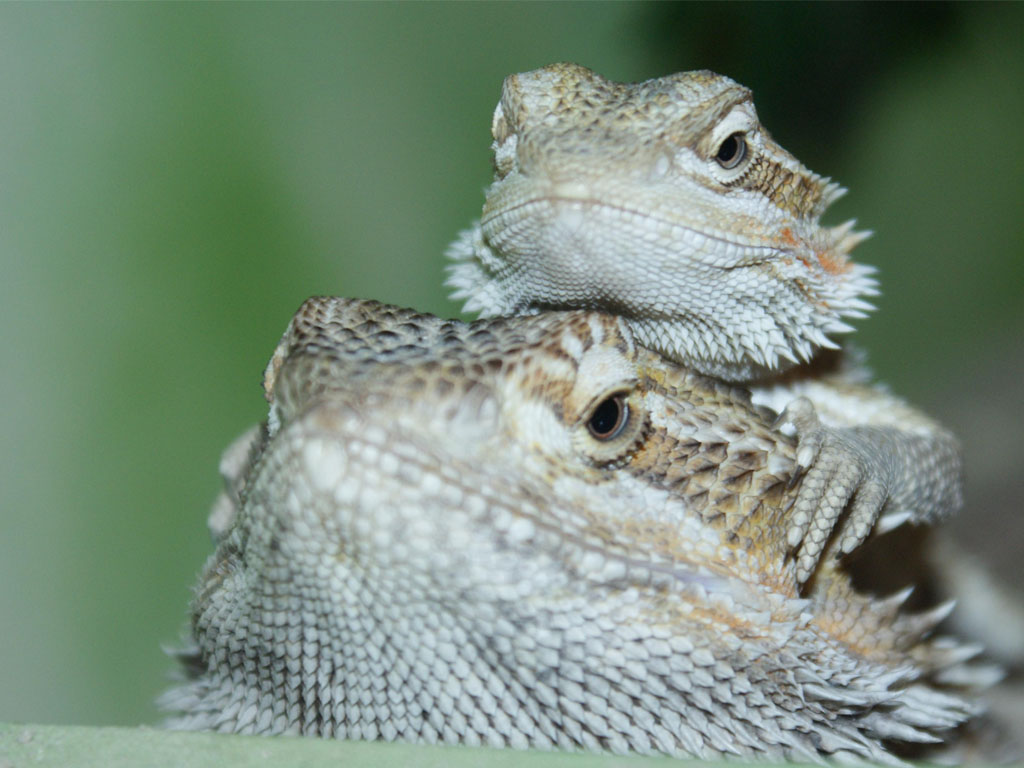 Too high humidities in #pet #BeardedDragons will lead to diseases such as intestinal parasites, skin & mouth infections & pneumonia.pic.twitter.com/IZr24lefgS