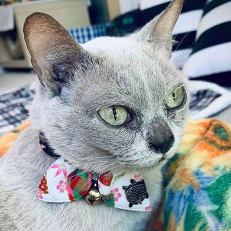 Our #Caturday profile. This lovely senior Burmese with perfect manners seeks forever lap. Miss Chickabee is sweet, sleepy, super soft lady who happens to be deaf. Chickabee spends most of her time sleeping and the other part grooming and trying to find something to snuggle with. pic.twitter.com/USSbQRpmhh