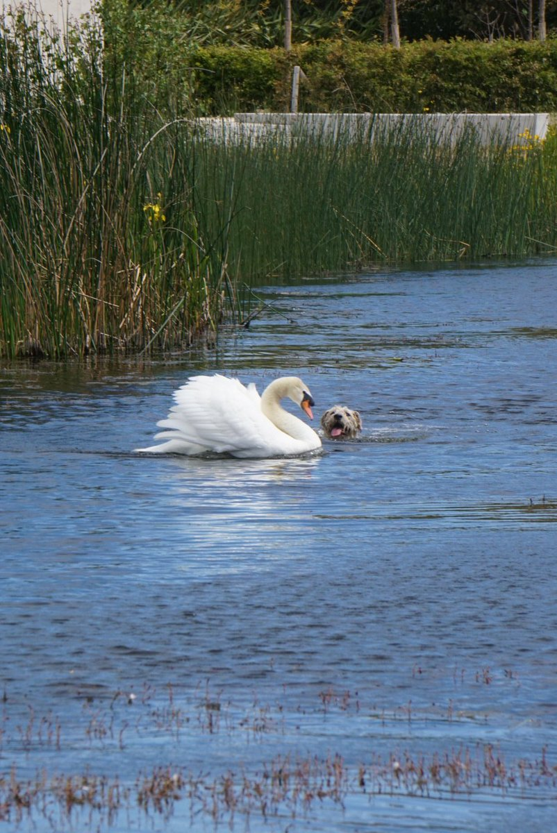 Went for a walk around UCD today and witnessed the Irish version of Fenton with a swan and a dog called Leo.