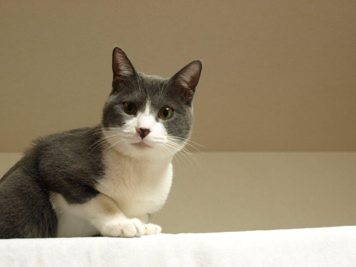 ママは「これはアン専用のお部屋よ」って言ってたのに、ニャぜかシーツ干しに使われたニャ。上に登って抗議するニャ。(ケージにシーツを干しました。)#猫好きさんと繋がりたい#もふもふチャレンジ