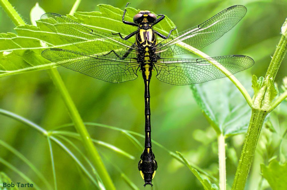 I found three of these newly emerged Cobra Clubtail dragonflies today. So let's join the clubtail for a cocktail at the club. <br>http://pic.twitter.com/Ek4l4hOU4v
