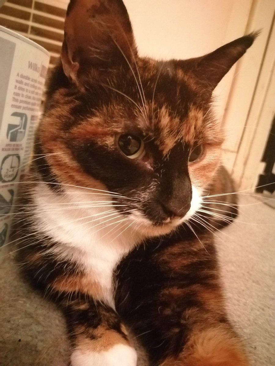I am bootifule #CatsOfTwitter #calicocats #beautiful #iambestpic.twitter.com/oyWjtBJPWK