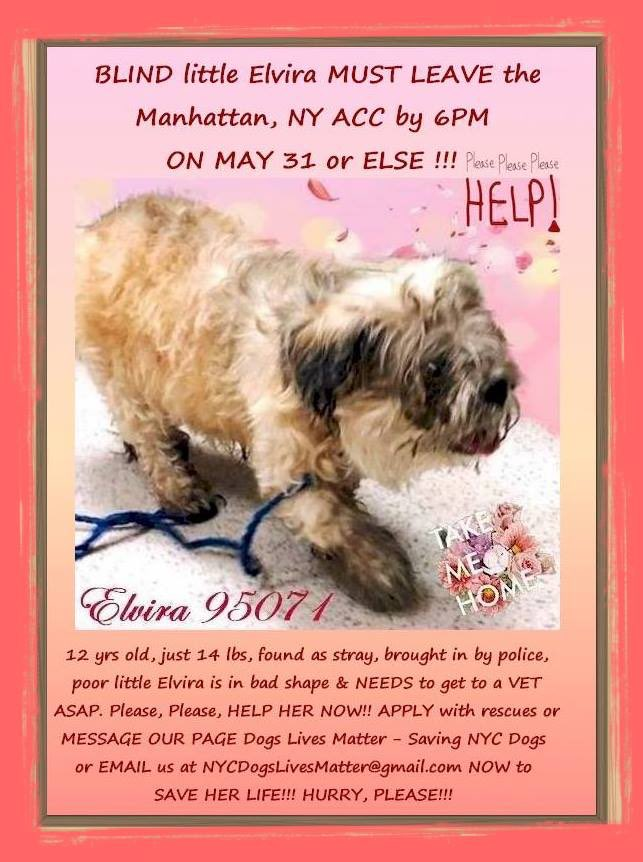 LOVERS of SENIOR DOGS: ELVIRA 95071, ~12y, brought in by POLICE-STRAY!, neglected & BLIND, must leave #nycacc by MAY 31, SUN 6PM! She weighs 44#, has med probs, most serious being infected mammary masses. Needs VET CARE ASAP! To bring her home, pls PM to FB: DLM-Saving NYC DOGS <br>http://pic.twitter.com/GQkCmalVLY