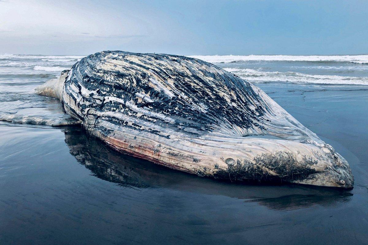Les pêcheurs d'une communauté du sud du #Guatemala ont trouvé une #baleine morte d'environ 13 mètres de long sur l'une des plages du #Pacifique, ce qui est inhabituel pour la taille du #cétacé, a rapporté une source officielle samedi. #animaux https://t.co/hTDTQHb29p