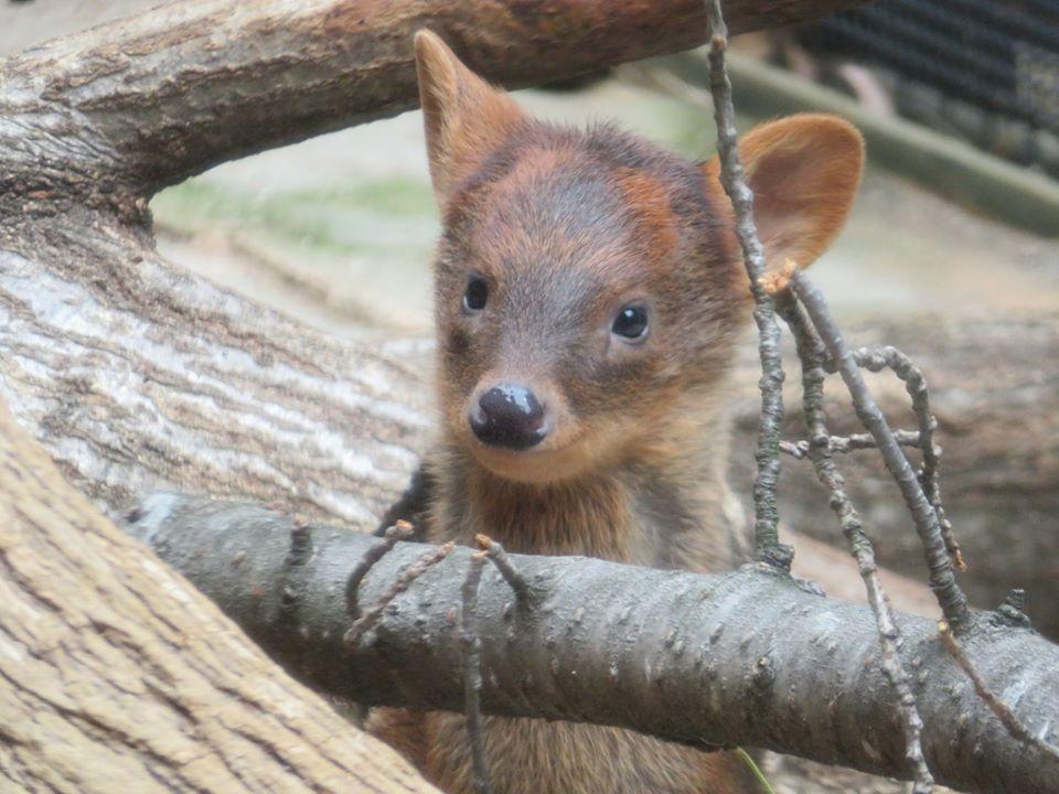 5月13日に生まれたプーズーの赤ちゃん。ばっちり目があいました。#プーズー#休園中の動物園水族館
