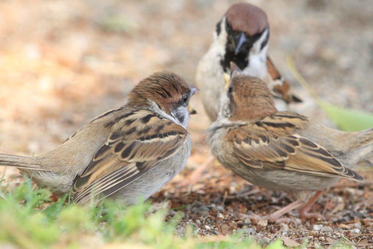公園で出会ったスズメの親子。育ち盛りの子スズメを2羽連れて、親スズメは大忙しです(。・ө・。)