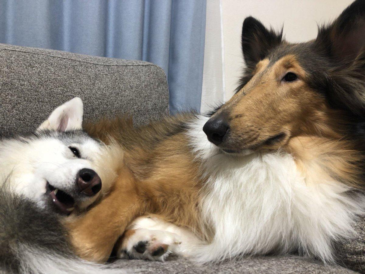 うちの犬はラフコリーとハスキーですとても仲良しです