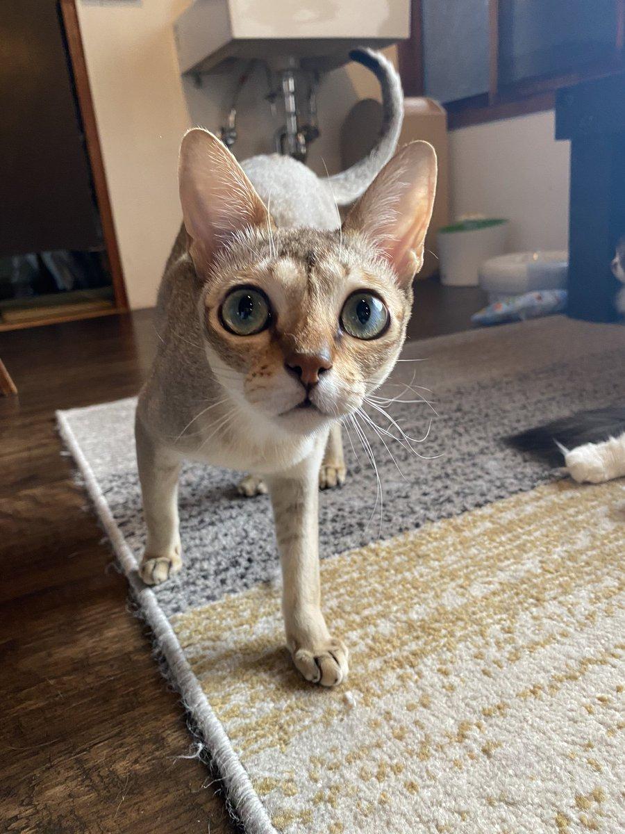 ここ数日、毎日コロコロ変わる気温で、猫フロアの温度管理が難しい。昨日は涼風、今日は軽く暖房。この時期は、人間が少し暑いくらいが適温の目安かな…特にクーちゃんは寒さに弱い猫種なので、体調には気を使いますね。