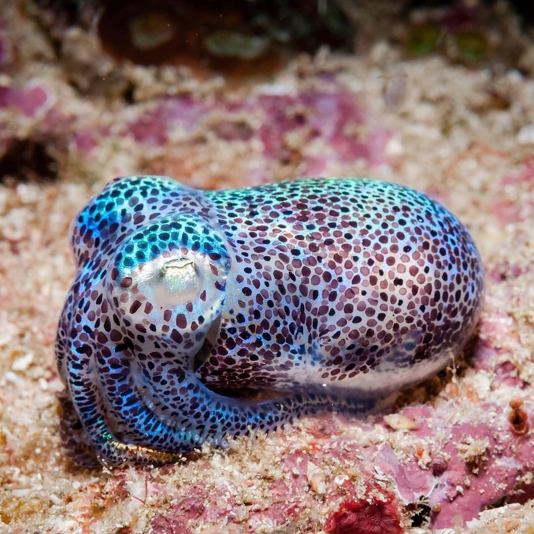 #squid #octopus #food #cephalopod #calamari #yummy #shrimp #animals #wildlife #scubadiving #discoverocean #scuba #foodgasm #octonation #oceanconservation #underwaterphotography #stem #octopustattoo #filmmaking #wildlifeconservation #underwaterlife #seacreature #marineanimalspic.twitter.com/WFJaGpz0v5