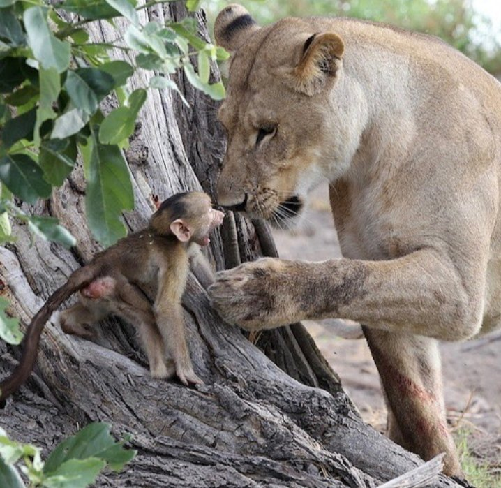 #Animals #Lioness #AnimalsRights #AnimalsLover #Care #Mother #LoveAnimals  Soo much love and carepic.twitter.com/xZIlQxuYAw