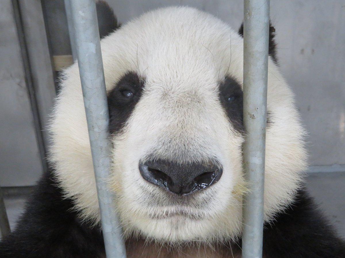 たんたんさんのドアップの三連続です🐼最後にまた良いどや顔いただきました!(笑)#きょうのタンタン #王子動物園 #NiceSmile  #ジャイアントパンダ(5/31まで休園中)