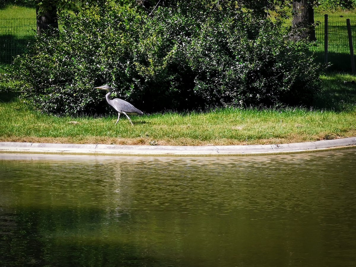 🇬🇧 Look who has returned to my gardens: my heron! Sunbathing at the ponds edge. A precious moment 😍Have a nice Sunday !🌞 #EiffelTower