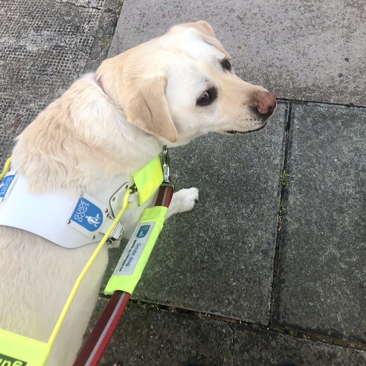 I'm very sad to say that I've decided not to take @Kika_GuideDog out alone anymore. In the last week so many people haven't bothered moving & instead brush past me. The pavements are now too busy for us to maintain social distancing. One step back for independence. #COVID__19